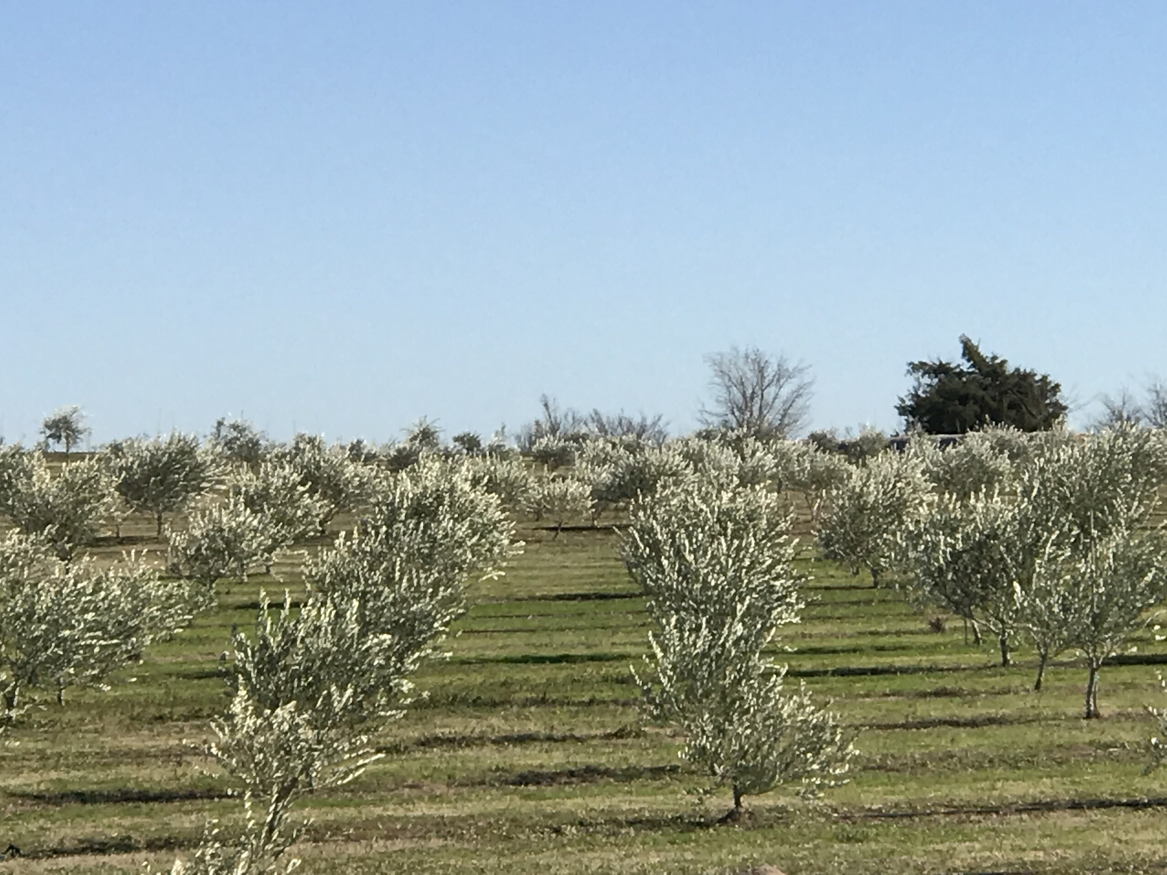 Texas Orchard Pictures - Lone Star Olive Ranch