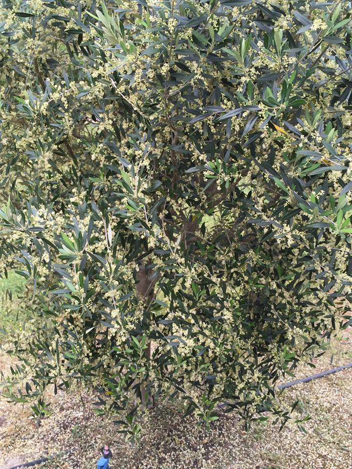Olive Orchard Consultation Services - Lone Star Olive Ranch